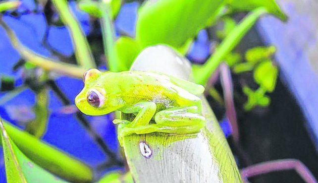 En peligro. Las amenazas sobre los anfibios son relevantes porque todas las especies se relacionan.