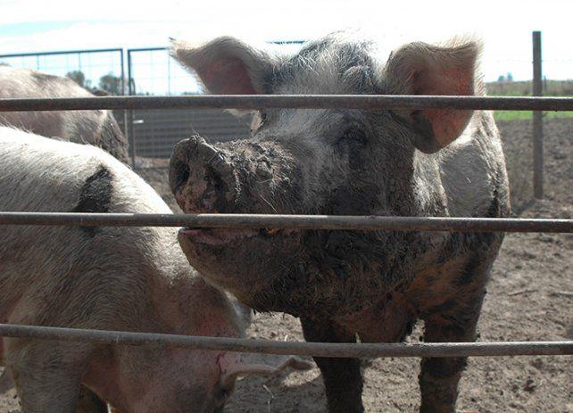 ARGENTINA. En 15 años el consumo de carne porcina aumentó un 325 %.
