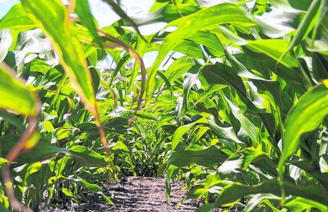 Se pronostica una suba del 7% en la siembra de maíz