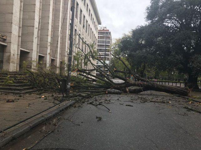 Árbol caído. El tronco y las ramas interrumpieron el tránsito en la zona de Balcarce y Montevideo.