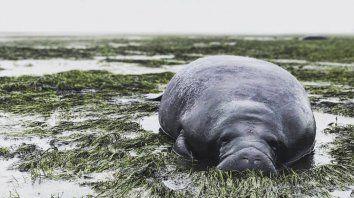 Un manatí varado en la costa de Sarasota.