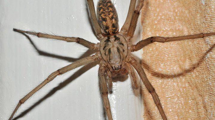 La araña gigante doméstica es una de las de mayor tamaño en Europa: llega a medir hasta los 7