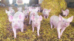 brecha. Se distancian los precios en la cadena de producción porcina.