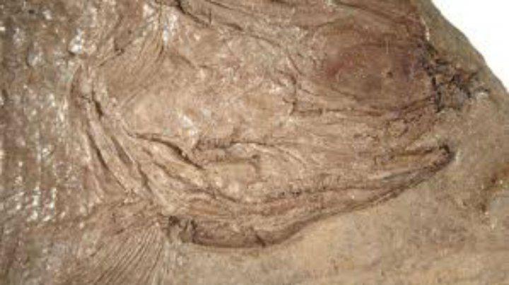 Preservación. El fósil hallado en Potrerillo es muy pequeño pero su preservación es perfecta.