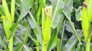 clima. Por la lluvia la siembra del maíz de primera está demorada.