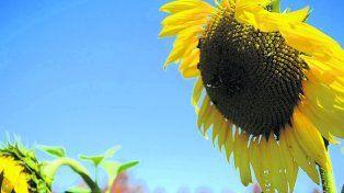 Girasol. La siembra en el centro norte provincial llegó a 117.800 hectáreas.