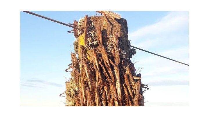 Invasión. Poste tapado por insectos en Las Albahacas