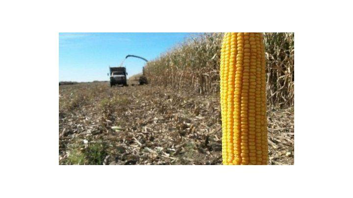 Chala y marlo. El rezago del maíz
