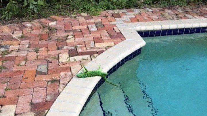 Una iguana paralizada por el frío en Florida