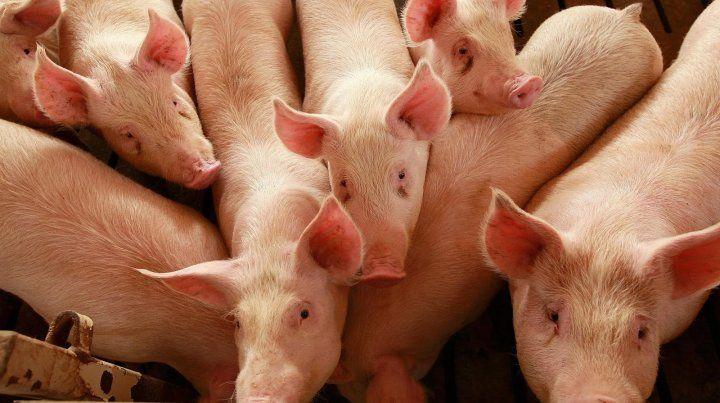 El increíble video de un cerdo que arriesga la vida por un compañero