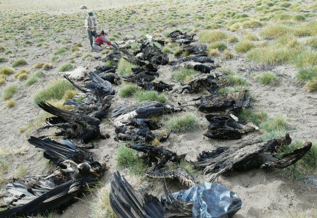 Desastre. La matanza de cóndores ocurrió en Malargüe. El caso causó gran impacto en todo el país.