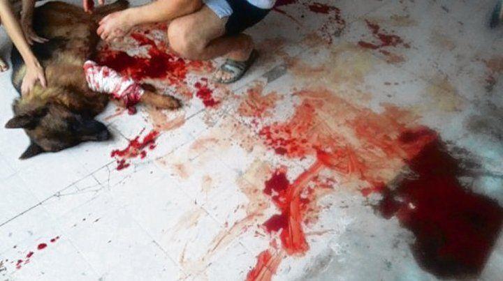 brutal. Un ovejero alemán sufrió el ataque de un pitbull el sábado.