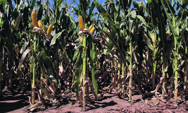 Trilla. Los primeros lotes cosechados con maíz temprano arrojaron rindes que promedian los 95 quintales en la zona núcleo.