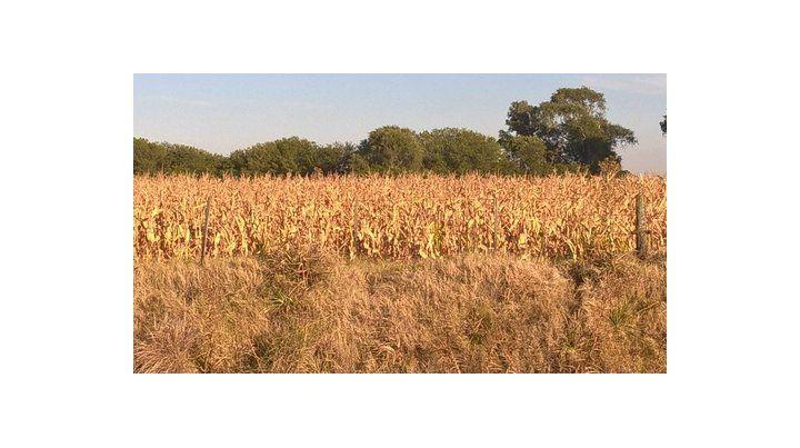 Pérdidas. La GEA dijo que los rindes de soja se desmoronaron. La cosecha sería de 40 millones de toneladas.