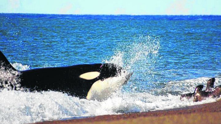 Bellas Orcas. Son los delfines más grande del mundo.