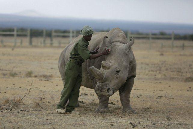 Extinción. Una de las dos hembras de rinoceronte blanco que quedan.