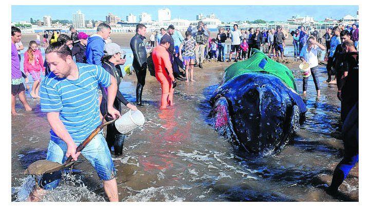 muerte anunciada. Especialistas advirtieron que la ballena moriría.