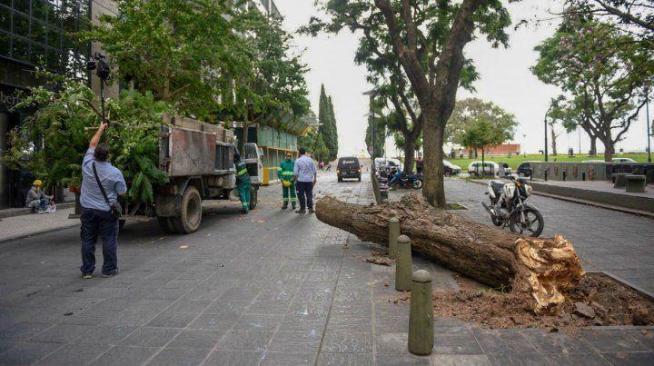El árbol está ubicado frente a la Fundación Libertad.