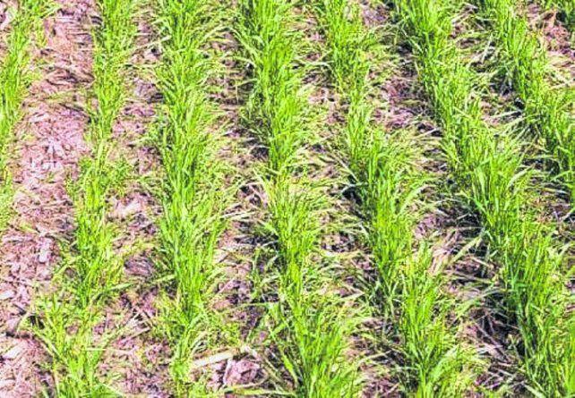 arranque. Prevén un crecimiento en el área de siembra del cereal fino.