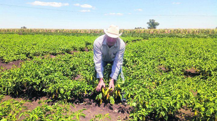 Manos en la tierra. La mayor parte de lo cosechado se vende en las verdulerías de la zona. Hay gente que se acerca a comprar al campo.