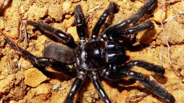 Murió la araña más vieja del mundo