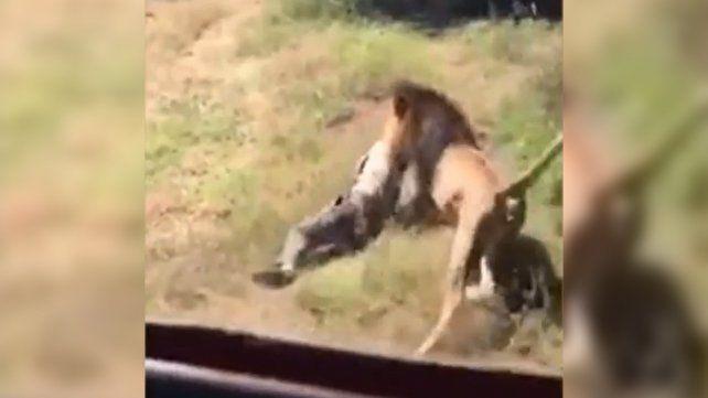 Un león atacó a un hombre en su jaula y quedó todo filmado
