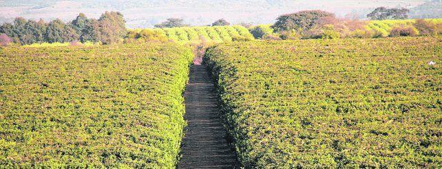 casos. Inteligencia artificial aplicada al agro en Argentina. La empresa San Miguel de Tucumán aplica nuevas tecnologías en cítricos para maximizar la producción.
