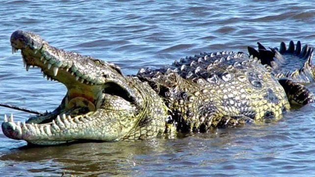En el mundo hay 24 especies de cocodrilos.