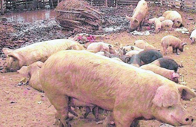 chiquero. La producción y faenamiento clandestino de cerdos está en la mira de las autoridades.