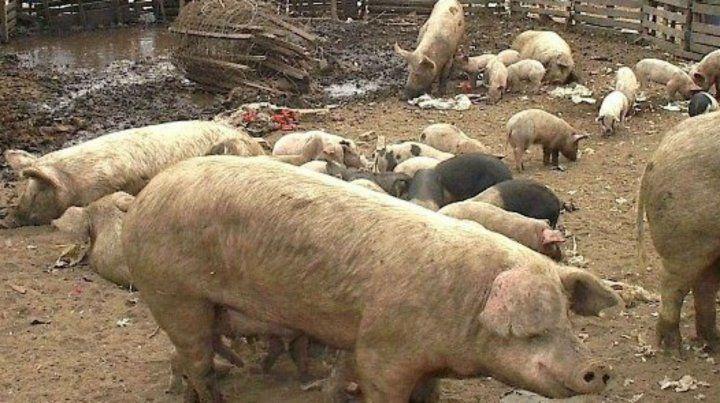 La producción y faenamiento clandestino de cerdos está en la mira de las autoridades.