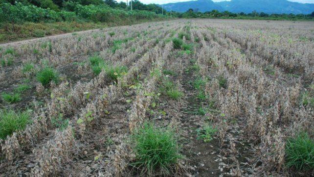La sanidad del lote de planteos en siembra directa puede realizarse óptimamente con barbecho químico en otoño.