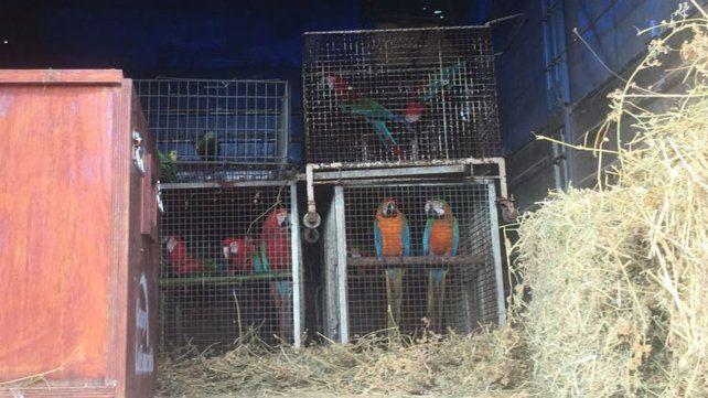 Secuestraron en Roldán casi 150 aves de especies protegidas