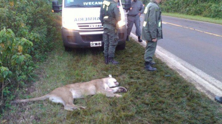 Un camión atropelló y mató a un puma en el Parque Nacional Iguazú