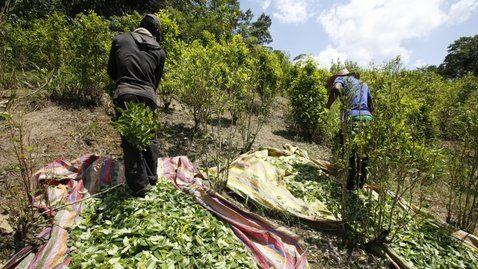 Cosecha. La recolección de hojas de coca en Puerto Bello