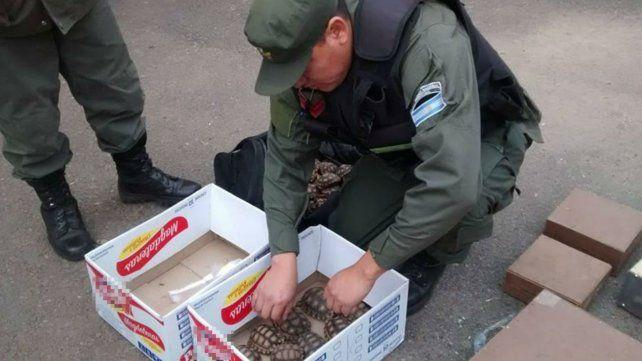 El contrabando de animalitos fue detectado en el peaje de General Lagos.