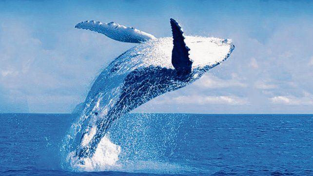 Avistaje de ballenas jubarte