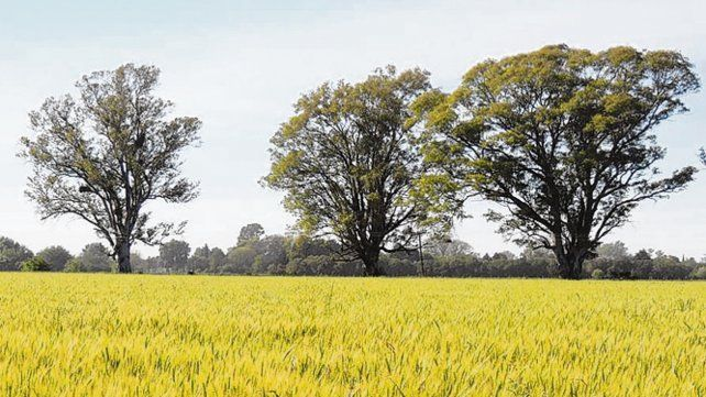 alentador. Así es el panorama del trigo para la campaña en curso.