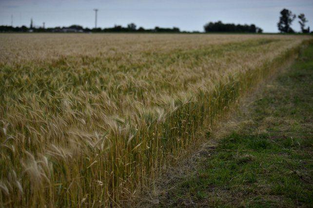 En alza. Los problemas de producción mundial de trigo pusieron pisos al precio.