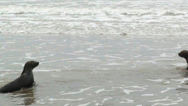 sanos y salvos . Dos de los cuatro lobos marinos que regresaron al mar