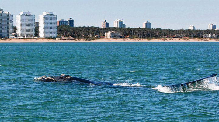 Contraste. Las ballenas también se pueden ver desde La Mansa