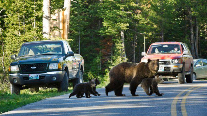 Un nene de diez años fue atacado por un oso en el parque de Yellowstone