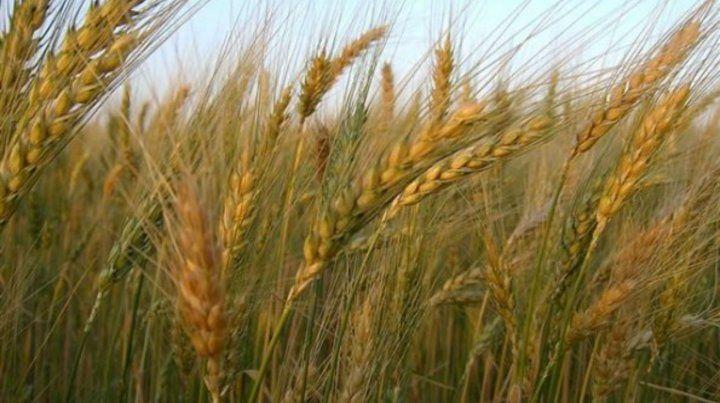 Las altas temperaturas en las zonas europeas provocarán una pérdida de 5% en la producción triguera mundial.