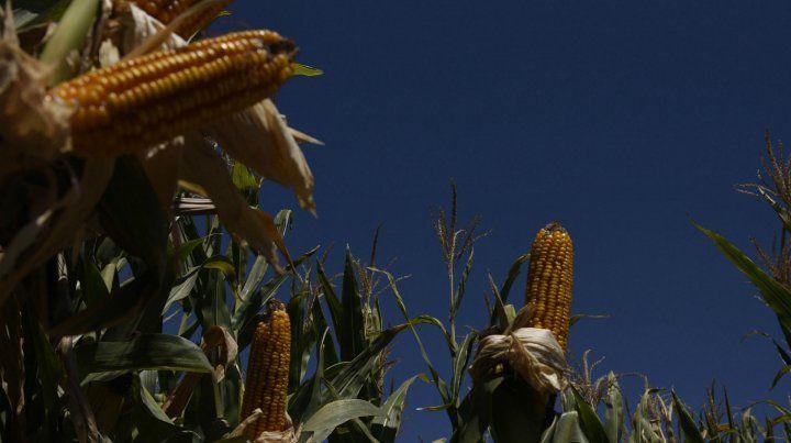 Inversión. La siembra de granos gruesos subirá