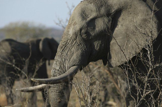 Larga vida. Los elefantes tienen una mortalidad muy baja por cáncer.