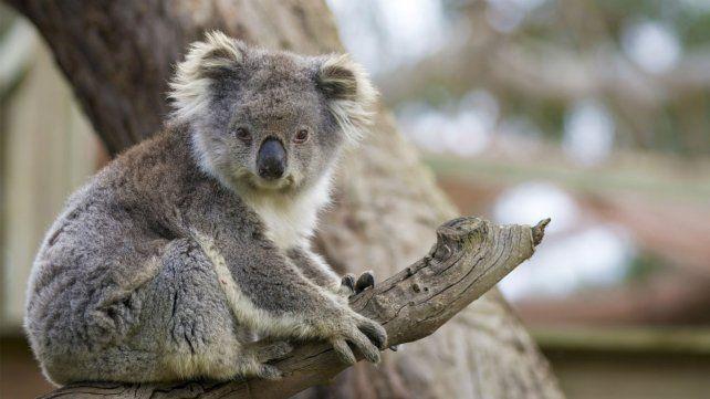 La tala de árboles es uno de los factores que ponen en peligro la vida de la especie.