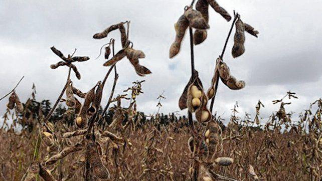 Soja. Hay problemas de calidad de semilla al inicio de la nueva siembra.