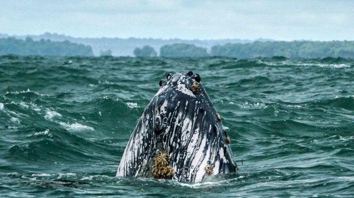 Imponente. Una ballena jorobada del Pacífico frente a las costas de Colombia.