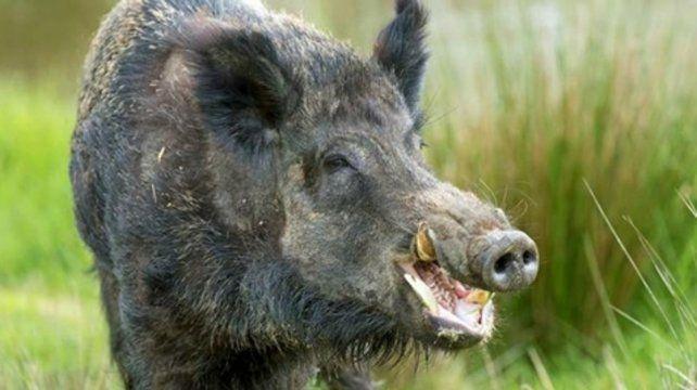 Jabalíes. Los habitantes de Bariloche están alarmados por su presencia.