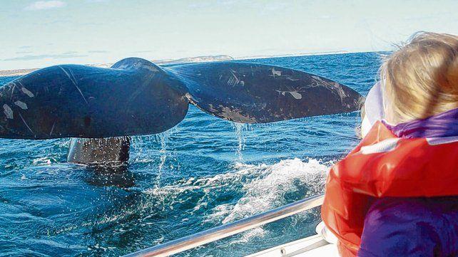 Encuentros cercanos. El avistaje de ballenas francas en Puerto Pirámides ya es un clásico chubutense.