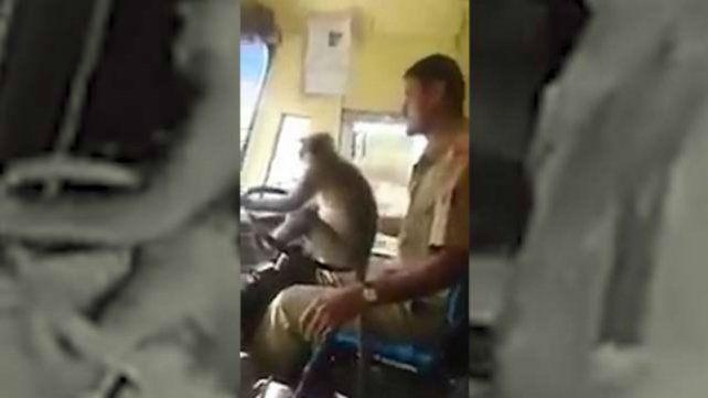 El chofer de un colectivo dejó que un mono conduzca durante diez minutos y los pasajeros los festejaron.